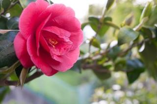 日本を代表する花のひとつ・椿(ツバキ)
