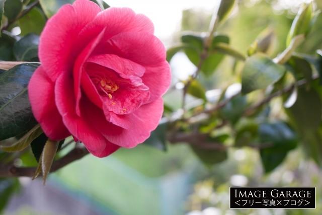 日本を代表する花のひとつ・椿(ツバキ)のフリー写真素材