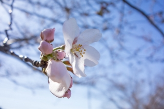 咲き始めの桜