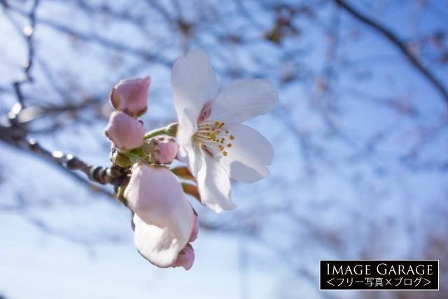 咲き始めのフリー写真素材(無料)