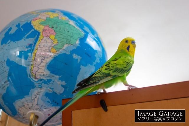 地球儀とセキセイインコの無料写真