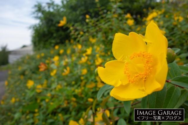 ヒペリカム・ヒデコートの花の無料写真
