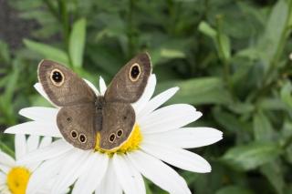 花にとまるジャノメチョウ