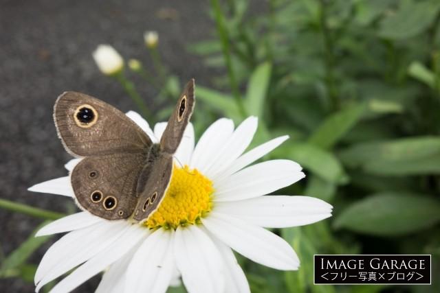 斜め上から見た蝶(ヒメウラナミジャノメ)のフリー写真素材
