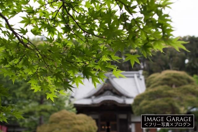 修禅寺ともみじのフリー素材写真(無料)