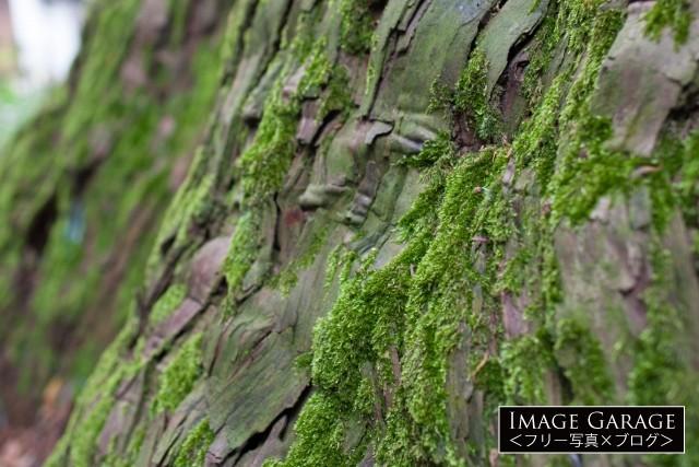 木についた苔のフリー素材写真(無料)