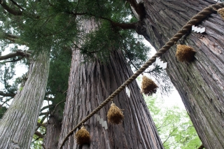 伊豆修善寺・日枝神社の子宝の杉