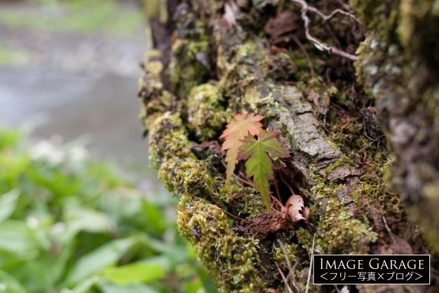 木に生えている苔と葉のフリー写真素材(無料)