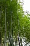 修善寺の竹林の小径の竹