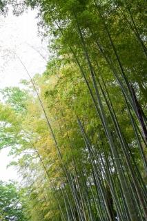 修善寺の竹林