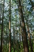 中伊豆の杉林