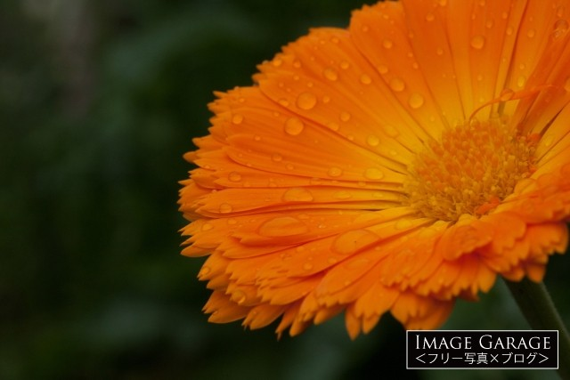 滴の落ちたキンセンカのフリー画像(無料写真素材)