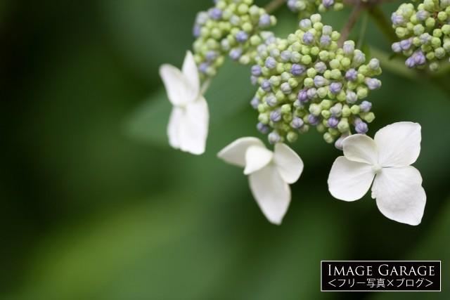 ガクアジサイの花のフリー素材写真(無料)