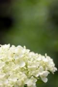 育てやすい西洋あじさい・アナベルの白い花