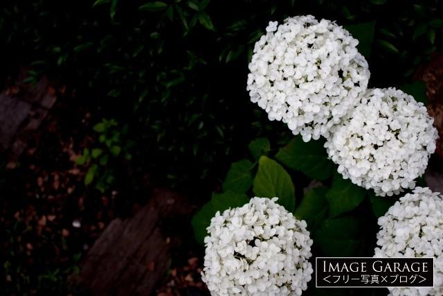 真上から見たアジサイ・アナベルのフリー素材写真(無料)