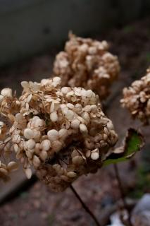 枯れてドライフラワー化したアナベルの花