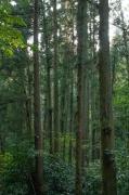 三浦半島の杉林