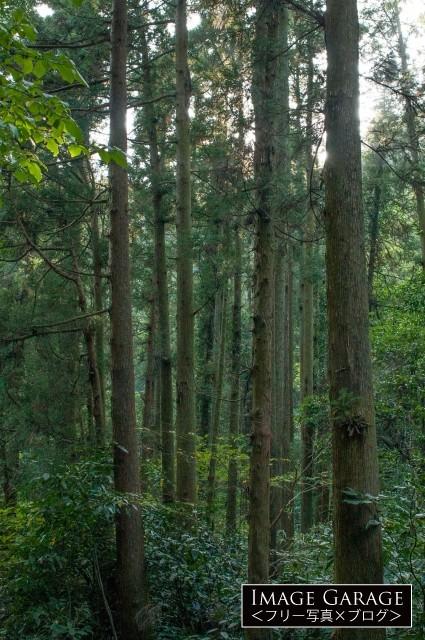 三浦半島の杉林の無料写真
