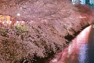 満開の目黒川の夜桜