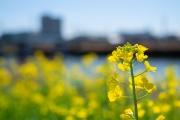 川沿いに咲く菜の花