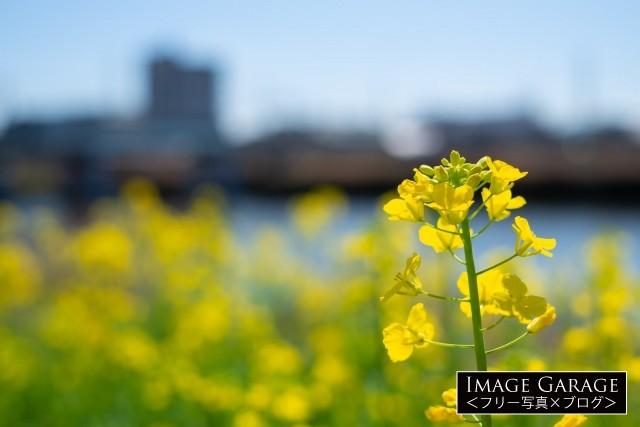 鶴見川沿いに咲く菜の花のフリー写真素材(無料)