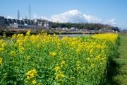 綱島の菜の花の花壇
