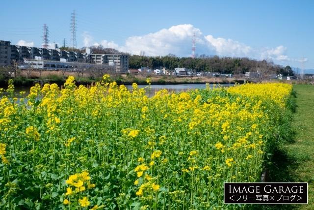 綱島の菜の花の花壇のフリー写真素材(無料)