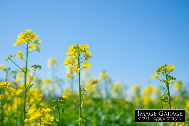 菜の花と青空のフリー素材写真(無料)
