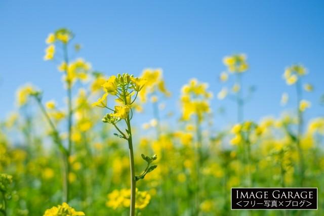 青空に映える菜の花のフリー素材写真(無料)