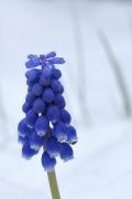 雪の中に咲くムスカリの花