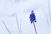 季節外れの雪の中で咲くムスカリの花