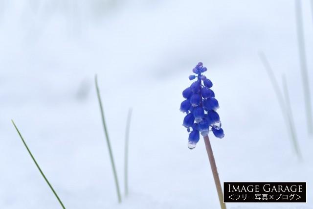 季節外れの雪の中で咲くムスカリの花の無料写真