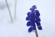 雪と水滴と春の花ムスカリ