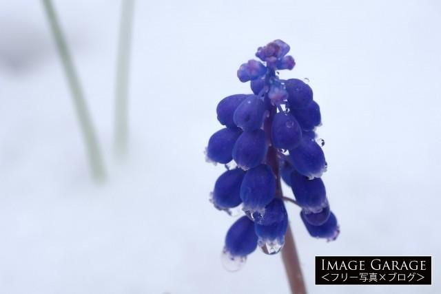 雪と水滴と春の花ムスカリの無料写真