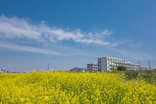 菜の花と神奈川県立港北高校