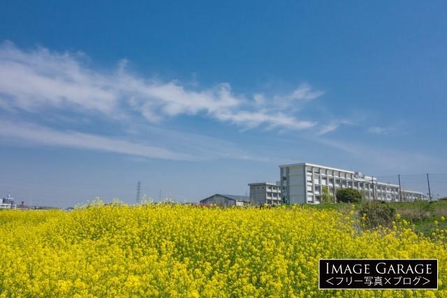 菜の花と神奈川県立港北高校の無料写真