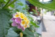 アジサイに似た花・ランタナ
