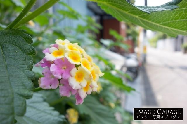 アジサイに似た花・ランタナの無料写真