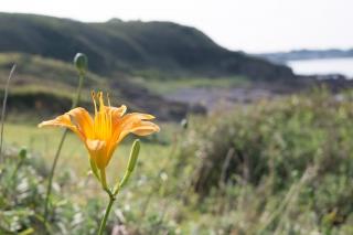 三浦半島に咲くハマカンゾウ