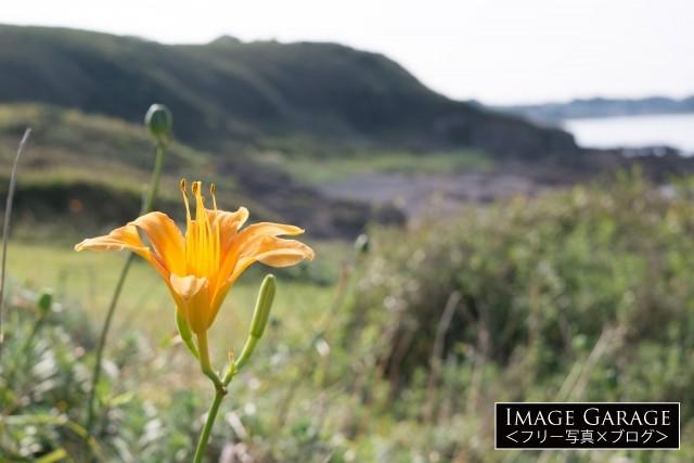 三浦半島に咲くハマカンゾのフリー写真素材(無料)