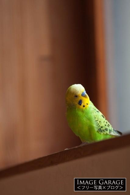 首をかしげた緑色のセキセイインコのフリー写真素材(無料)'