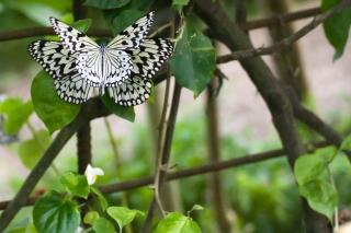 蝶:オオゴマダラ