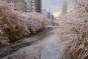 目黒川・桜の花筏