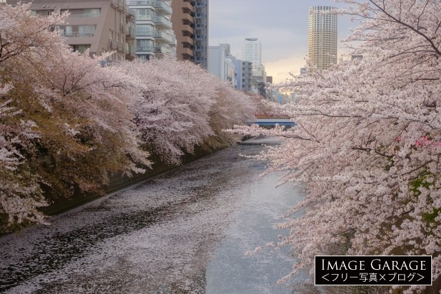 目黒川・桜の花筏の無料写真