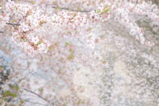 目黒川をピンクに染める桜