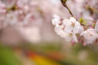 江川せせらぎ緑道の桜・ソメイヨシノ