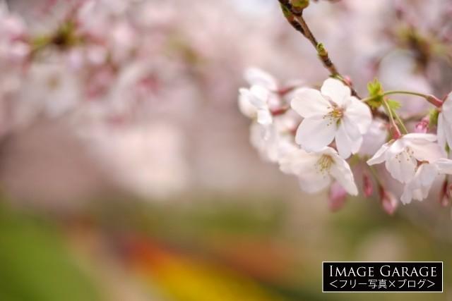 江川せせらぎ緑道の桜・ソメイヨシノのフリー写真素材(無料)