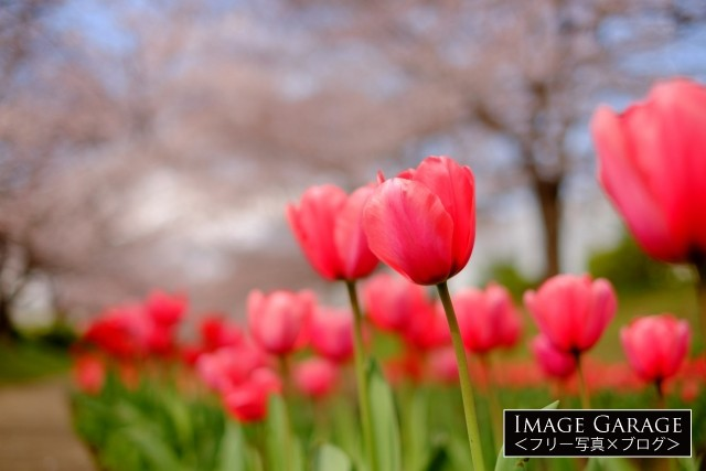 赤いチューリップの花