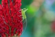 花粉や花弁を食べるヤブキリの幼虫