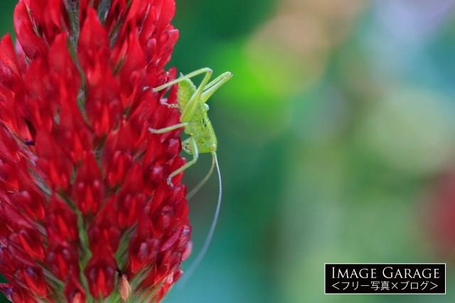 花粉や花弁を食べるヤブキリの幼虫のフリー画像(無料写真素材)